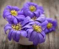 Anemone Blanda Blue royaltyfri foto