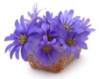 Anemone Blanda Blue Shades. Or Grecian Windflowers Stock Images