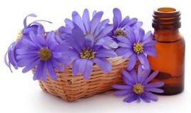 Anemone Blanda Blue Shades eller Grecian Windflowers royaltyfria bilder