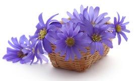 Anemone Blanda Blue Shades. Or Grecian Windflowers Royalty Free Stock Photos