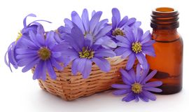 Anemone Blanda Blue Shades of Grecian Windflowers royalty-vrije stock afbeeldingen