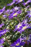 Anemone blanda flowers in the garden Stock Photo