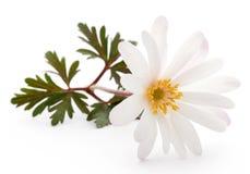 Anemone Blanda vit skugga eller Grecian Windflowers royaltyfria bilder