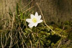 Anemone bloom Stock Photo