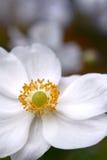 Anemone Blossom Royaltyfri Foto