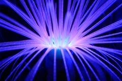 Anemone blu d'ardore Immagine Stock