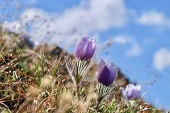 anemone blue Λουλούδι ή Pulsatilla Pasque Στοκ εικόνες με δικαίωμα ελεύθερης χρήσης