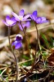 anemone blue Στοκ εικόνες με δικαίωμα ελεύθερης χρήσης