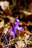 anemone blue Στοκ φωτογραφία με δικαίωμα ελεύθερης χρήσης