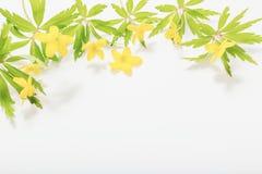 Anemone  spring flowers on white background. Anemone buttercup spring flowers on white background stock photos