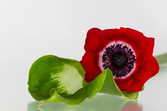 Anemone and Calla. Anemone lies on a calla flower Royalty Free Stock Image
