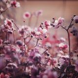 Anemone Chinease Στοκ Φωτογραφία