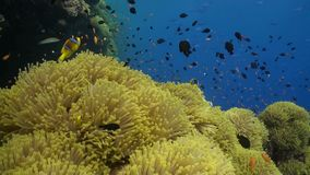 Anemone city in Daedalus Reef Stock Image