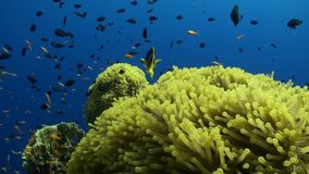 Anemone city in Daedalus Reef Royalty Free Stock Photo