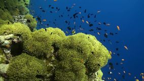 Anemone city in Daedalus Reef Stock Photo