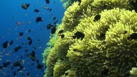 Anemone city in Daedalus Reef Stock Photos