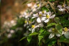 Anemone Clematis Growing Along a Garden Fence. Spring Garden Scene With Anemone Clematis royalty free stock photos