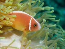 anemone close clown fish up Στοκ εικόνα με δικαίωμα ελεύθερης χρήσης