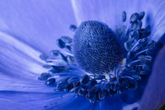 Anemone Royalty Free Stock Photo