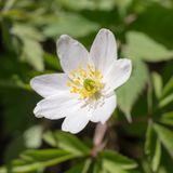 Anemone close up Royalty Free Stock Photos