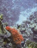 Anemone clown fish Royalty Free Stock Image