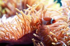 anemone clown fish Στοκ Φωτογραφίες