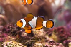 Anemone clown fish - Amphiprioni ocellaris. Clown fish in the coral reef royalty free stock photos