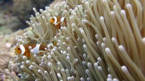 Anemone clown fish stock video footage