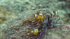 Anemone clown fish stock footage