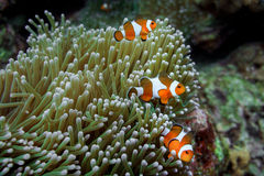 Anemone clown fish Royalty Free Stock Images