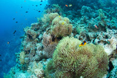 Anemone and clownfish. In the red sea stock images