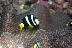 anemone clownfish Στοκ εικόνα με δικαίωμα ελεύθερης χρήσης