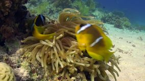 Anemone and clownfish on background of underwater sandy bottom in Red sea. stock video