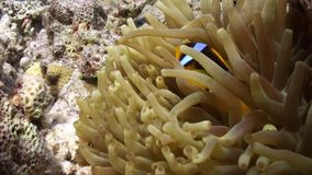 Anemone and clownfish on background of underwater sandy bottom in Red sea. Swimming in world of colorful beautiful wildlife of reefs and algae. Inhabitants in stock footage