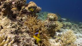 Anemone and clownfish on background of underwater sandy bottom in Red sea. Swimming in world of colorful beautiful wildlife of reefs and algae. Inhabitants in stock video footage