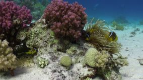 Anemone and clownfish on background of underwater sandy bottom in Red sea. Swimming in world of colorful beautiful wildlife of reefs and algae. Inhabitants in stock video