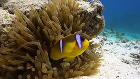 Anemone and clownfish on background of underwater sandy bottom in Red sea. Deep diving. Travel in world of unique colorful beautiful ecosystem nature. Wild stock video footage