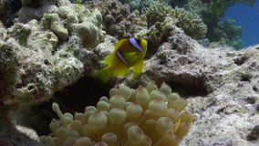 Anemone and clownfish on background of underwater sandy bottom in Red sea. stock footage