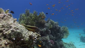 Anemone and clownfish on background of underwater sandy bottom in Red sea. stock video footage