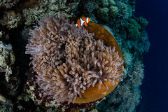 Anemone and Clownfish on Edge of Reef Stock Photos