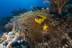 Anemone and clownfish in the Red Sea. Stock Photography