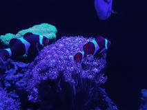Anemone and clownfish in saltwater aquarium. Nature and fauna, underwater view, sea and ocean ecosystem royalty free stock photography