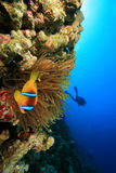 Anemone and Clownfish and Scuba Diver Stock Photo