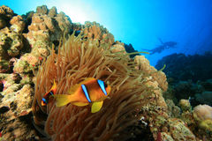 Anemone and Clownfish and Scuba Divers Stock Photo