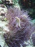 Anemone com peixes Fotos de Stock Royalty Free