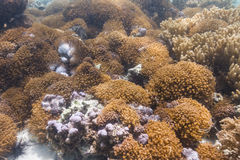 Anemone coral at Lipe island Royalty Free Stock Photos