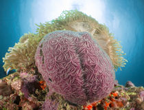 Anemone coral maldives Royalty Free Stock Images