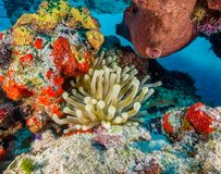 Anemone in Coral Reef fotografie stock