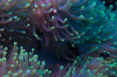 Anemone on a coral reef Royalty Free Stock Photo