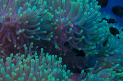 Anemone on a coral reef Stock Photos